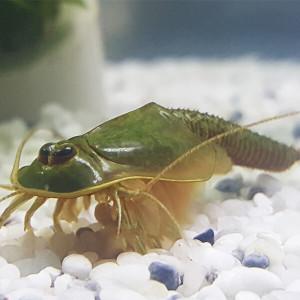 Triops Longicaudatus gonochoric