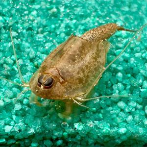 Triops Longicaudatus Brown