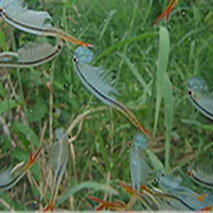 Branchinella Thailandensis Sanoamuang