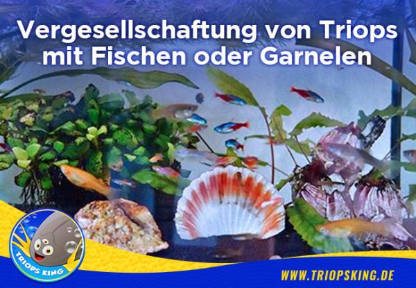 Vergesellschaftung von Triops mit Fischen oder Garnelen - Vergesellschaftung von Triops mit Fischen oder Garnelen möglich?