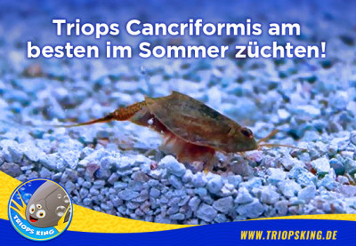 Triops Cancriformis are being bred best in the summer - Triops Cancriformis are being bred best in the summer