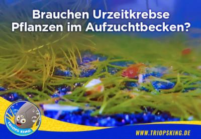 Brauchen Urzeitkrebse Pflanzen im Aufzuchtbecken? - Brauchen Urzeitkrebse Pflanzen im Aquarium | Triops King