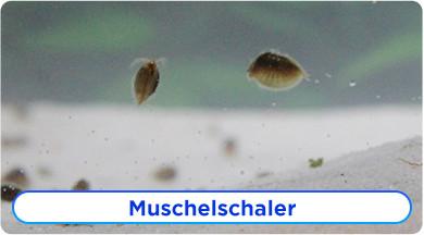 Muschelschaler Ratgeber