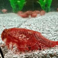 Triops Beni Kabuto ebi Albino Tadpole Shrimp Breeding stock approx. 150 eggs
