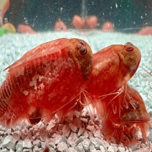 Triops Beni Kabuto ebi Albino Têtard Crevettes Reproducteur environ 1000 œufs