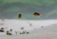 Dry Lake Clam Shrimp