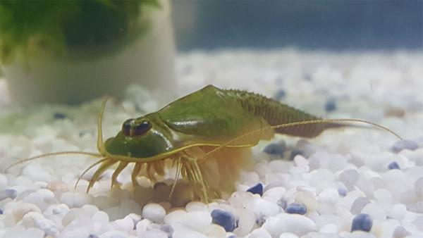 Triops Longicaudatus gonochoric Starter Set Plus 150 eggs
