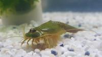 Triops Longicaudatus gonochoric Starter Set Ultra 1000 Eier
