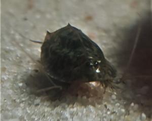 Triops Mauritancius breeding approach