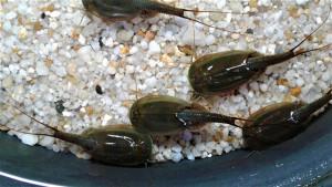 Triops Australiensis Green Breeding approche avec 500 œufs
