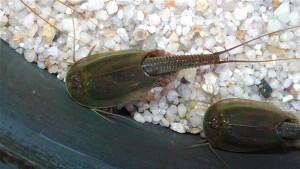 Triops Australiensis Green Starter Set 50 Eier