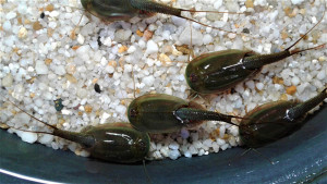 Triops Australiensis Green Starter Set Plus 150 œufs