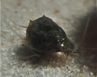 Triops Mauritancius Starter Set Ultra 1000 Eier