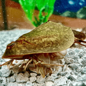 Triops Cancriformis Mallorca Starter Kit Ultra