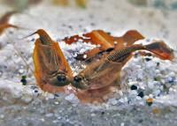 Enfoque de cría de Triops longicaudatus brown