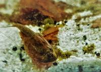 Approche de sélection multicolore de Triops longicaudatus