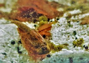 Triops Longicaudatus Multicolour Starter Set Ultra