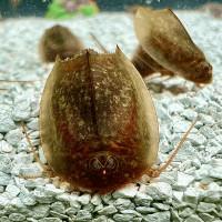 Triops Cancriformis Starter Set Ultra 150 huevos