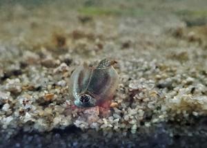 Triops Longicaudatus Arizona Starter Set 150 Eier