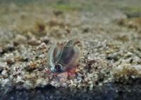 Triops Longicaudatus Arizona Starter Set Plus 1000 Eier