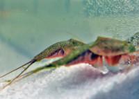 Triops Longicaudatus Starter Set Ultra 150 Eier