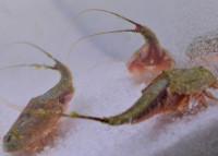 Triops Longicaudatus Starter Set Ultra 1000 Eier