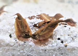 Triops longicaudatus brown Breeding batch 1000 eggs