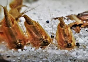 Triops Longicaudatus Starter Set Plus 500 œufs