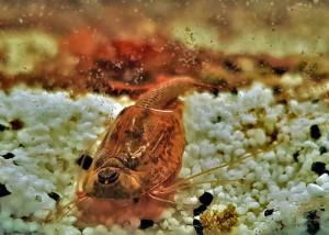 Triops Longicaudatus Multicolour Breeding stock 50 eggs