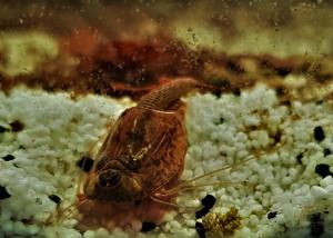 Triops Longicaudatus Multicolour Starter Set Plus 150 eggs