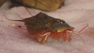 Triops Newberryi Tadpole Shrimp Starter Set 150 huevos
