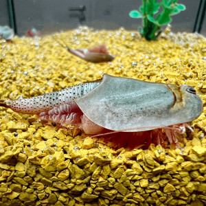 Triops Longicaudatus Tadpole Shrimp Starter Set Ultra 500...
