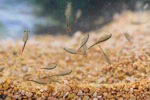 Fairy Shrimp Streptocephalus sealii Tadpole Shrimp...
