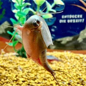 Longicaudatus reproducteur 500 œufs