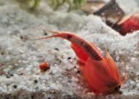 Triops Red Longicaudatus Tadpole Starter Set de camarones Plus