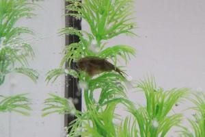Triops Cancriformis Austria Enfoque de cría de camarón renacuajo