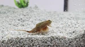 Triops Cancriformis Austria Tadpole Shrimp Starter Set Ultra