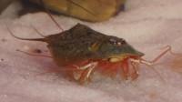 Triops Newberryi Tadpole Shrimp Starter Kit Ultra