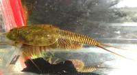 Triops Granarius Tadpole Shrimp Starter Set Plus