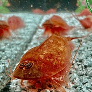 Triops Beni Kabuto ebi albino Tadpole Shrimp Breeding...