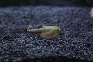 Triops Australiensis Queensland Tadpole Shrimp Breeding...