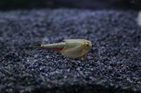 Triops Australiensis Queensland Tadpole Shrimp Starter Set