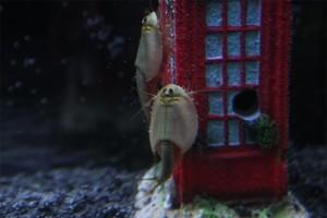 Triops Australiensis Queensland Tadpole Shrimp Starter Set Plus